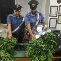I Carabinieri mostrano le piante di marijuana sequestrate