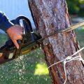 I pini lungo la via Latina tra Artena e Colleferro saranno sostituiti con altri alberi