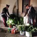 Artena, blitz dei Carabinieri: sequestrate 52 piante di marijuana in serra idroponica