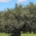 Olio, tra Artena, Colleferro, Olevano e Genazzano è l'annata buona. Raccolta in corso